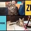 Zu et mapuche, Chaton européen à adopter