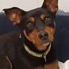 Santos, Chien chien courant de transylvanie, pinscher à adopter