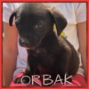 Orbak, Chiot à adopter