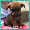 Charlie, Chiot à adopter