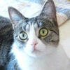 Lisbeth femelle tigré/blanc de 2 ans, Chat à adopter