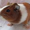 Cara cochon d'inde femelle, Animal à adopter