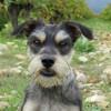 Maya, Chien border terrier à adopter