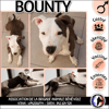Bounty, Chiot american staffordshire terrier à adopter