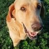 Cooper, Chien labrador retriever, mâtin espagnol à adopter