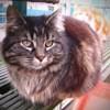 Papou tigrée angora, Chat à adopter