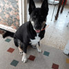 Patapouf, Chien husky sibérien à adopter