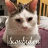 Scoubidou, Chat européen à adopter