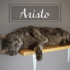Aristo, Chat européen à adopter