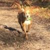 Leika, jeune femelle croisée non lof, Chiot à adopter