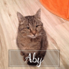 Aby, Chat européen à adopter