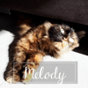 Melody, Chat angora turc à adopter