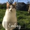 Embry, Chaton européen à adopter