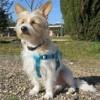 Twix, Chien west highland white terrier à adopter