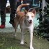Chipie, Chien husky sibérien à adopter