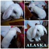 Alaska, Animal à adopter