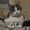 Zabou, Chaton européen à adopter