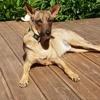 Marvel, adorable chien croisé non lof, Chien à adopter