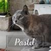 Pastel, Chat européen à adopter