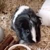Cosette cochon d'inde femelle, Animal à adopter