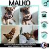 Malko, Chien affenpinscher à adopter