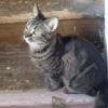 Mélisse, Chat européen à adopter