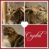 Crystal, Chat européen à adopter