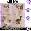 Milka, Chaton européen à adopter