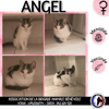 Angel, Chaton européen à adopter