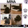 Mina, Chat européen à adopter