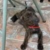 Paddy, chiot femelle croisée créole, Chiot à adopter