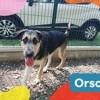 Orso, Chiot berger allemand, pointer anglais à adopter
