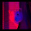 2 rats mâles réhabilités de laboratoire, Animal à adopter