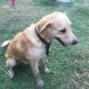 Marley, jeune chien croisé golden non lof, Chien à adopter