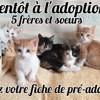 5 freres et soeurs, Chaton européen à adopter