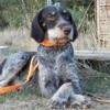 Eva (croisée), Chien chien d'arrêt allemand à poil long à adopter