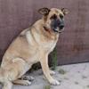 Iska, Chien berger allemand à adopter