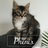 Phenix, Chaton à adopter