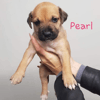 Pearl, Chiot à adopter