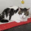Maurice, Chat européen à adopter