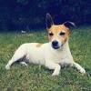 Paris, Chien jack russell terrier à adopter