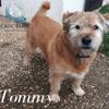 Tommy, adorable petit fauve de bretagne croisé griffon, Chien griffon fauve de bretagne à adopter