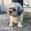 Tomy, touchant petit lhassa apso de 17 ans, Chien lhassa apso à adopter