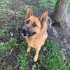 Handi, Chien berger allemand à adopter