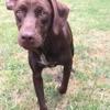 Choco, Chiot labrador retriever à adopter
