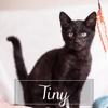 Tiny, Chaton européen à adopter