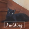 Pudding, Chat européen à adopter