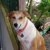 Manille, jeune chienne croisée créole, Chien à adopter