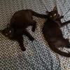 Ouvea & nandai, petites perles noires, Chat à adopter
