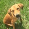 Opus, jeune chien croisé non lof, Chiot à adopter